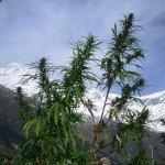 Photos de trek au Népal dhaulagiri tukuche peak cannabis nepal 150x150