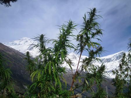 Tour des Annapurnas : Kalopani   Tatopani dhaulagiri tukuche peak cannabis nepal 450x338